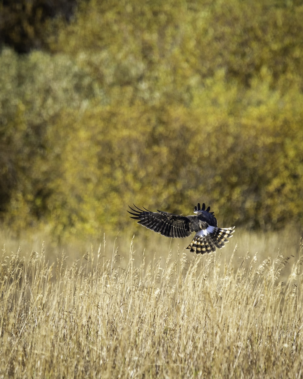 black and white bird flying over brown grass field during daytime