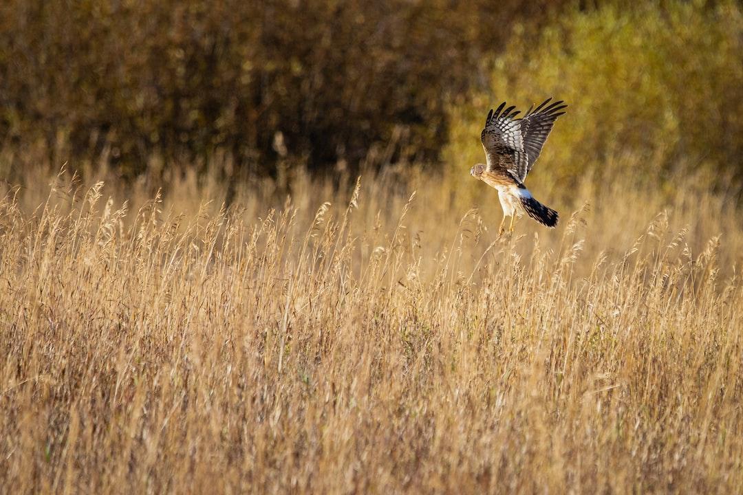 Northern Harrier.  - unsplash