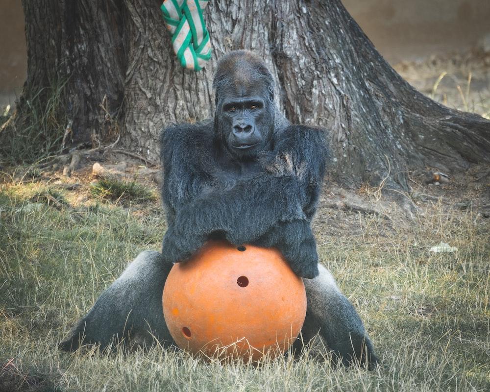 gorilla sitting on green grass field