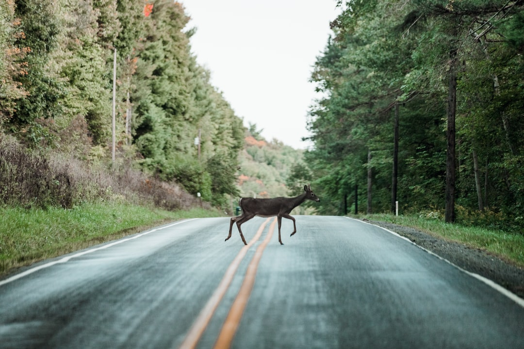 Deer In the Road - unsplash