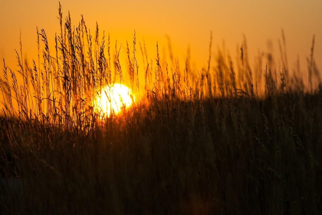 The Sun Sets Behind Tall Grass. - unsplash