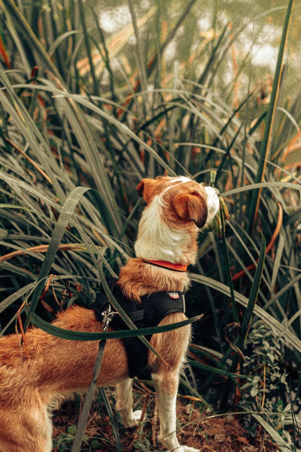 brown and white short coated dog on green grass during daytime