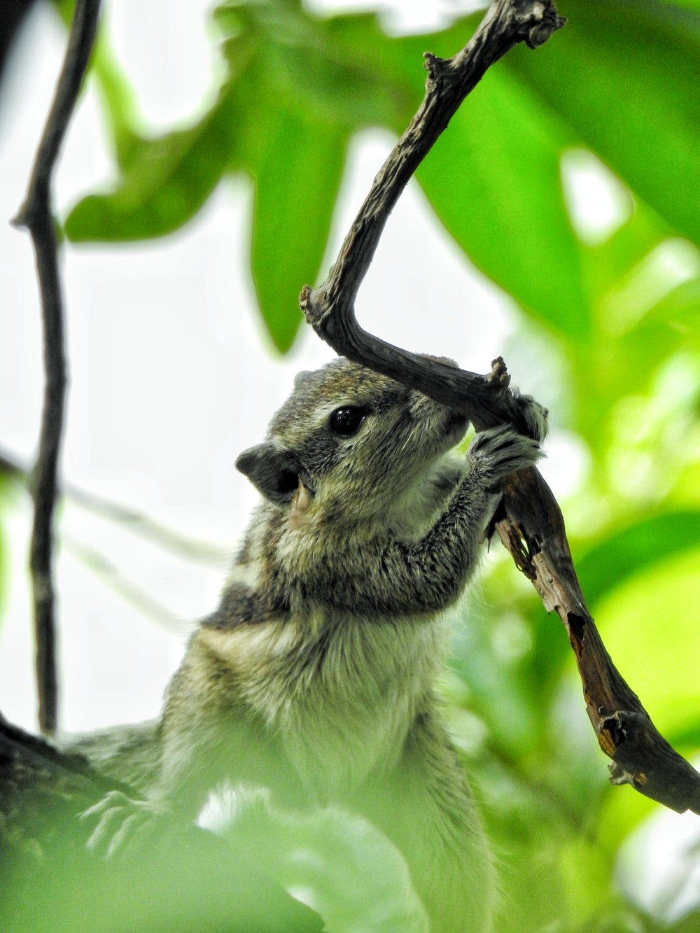 white and gray squirrel on brown tree branch