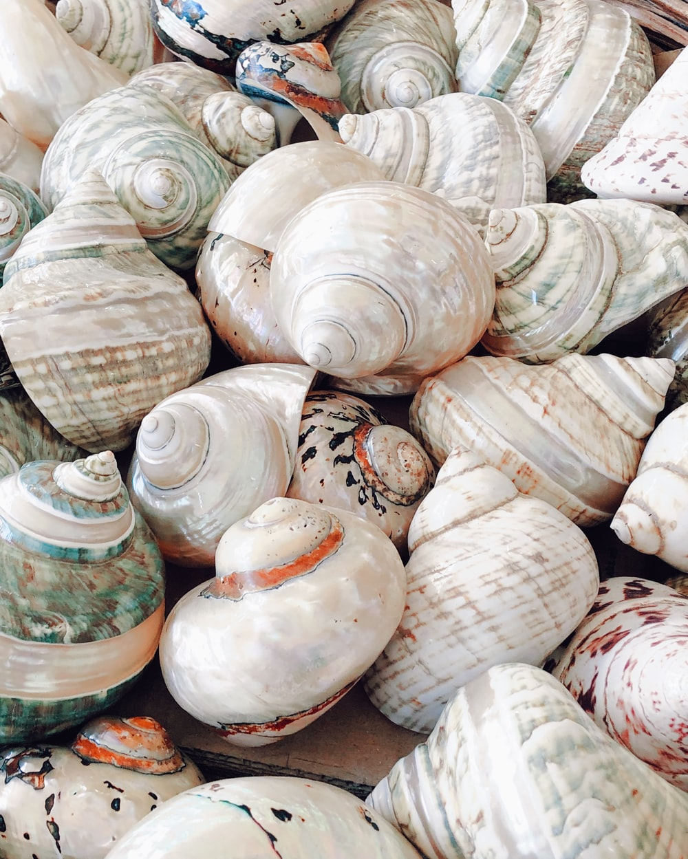 white and brown sea shells