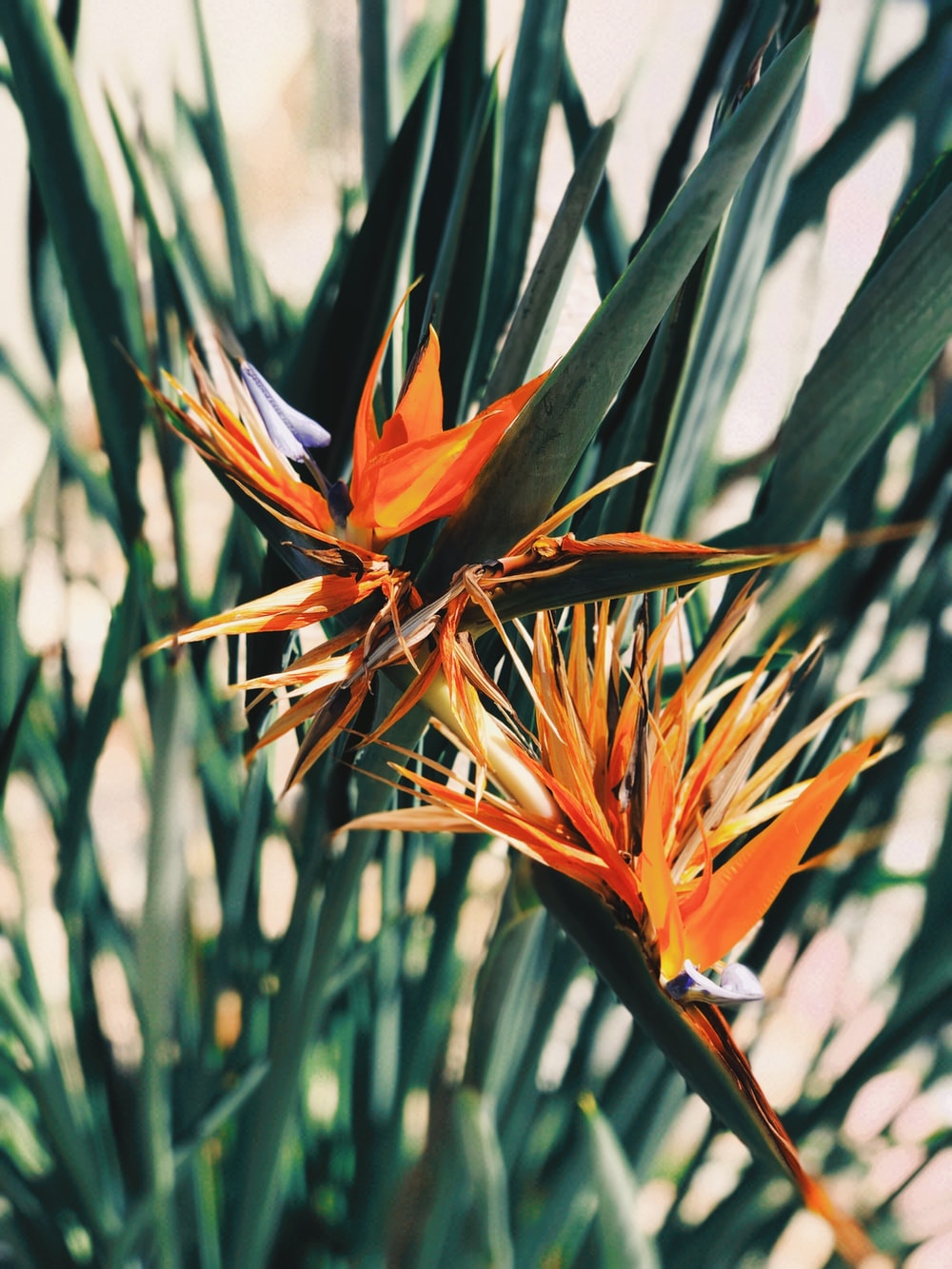 orange and blue birds of paradise flower in bloom during daytime