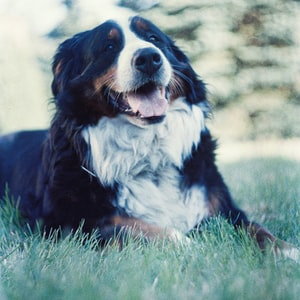 black white and brown bernese mountain dog lying on green grass during daytime