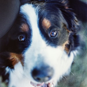 tricolor bernese mountain dog lying on the ground