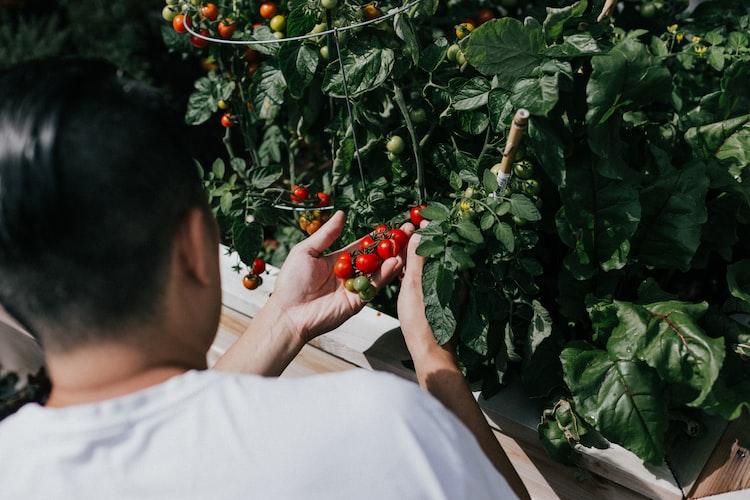 Quelqu'un entrain de cueillir des tomates. | Photo : Unsplash