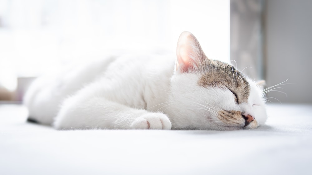 white and brown tabby cat lying on white textile