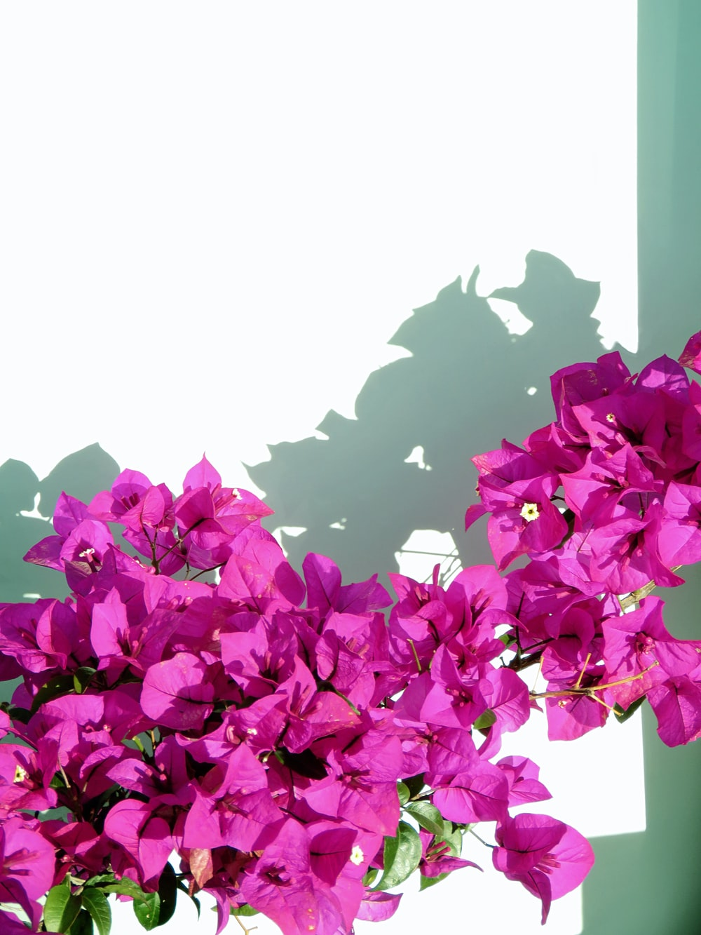 purple flowers with white background