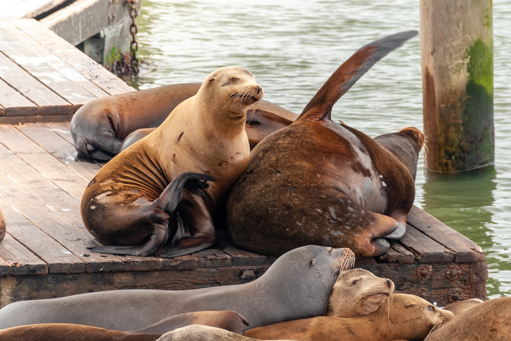 seal lying on brown wooden dock during daytime