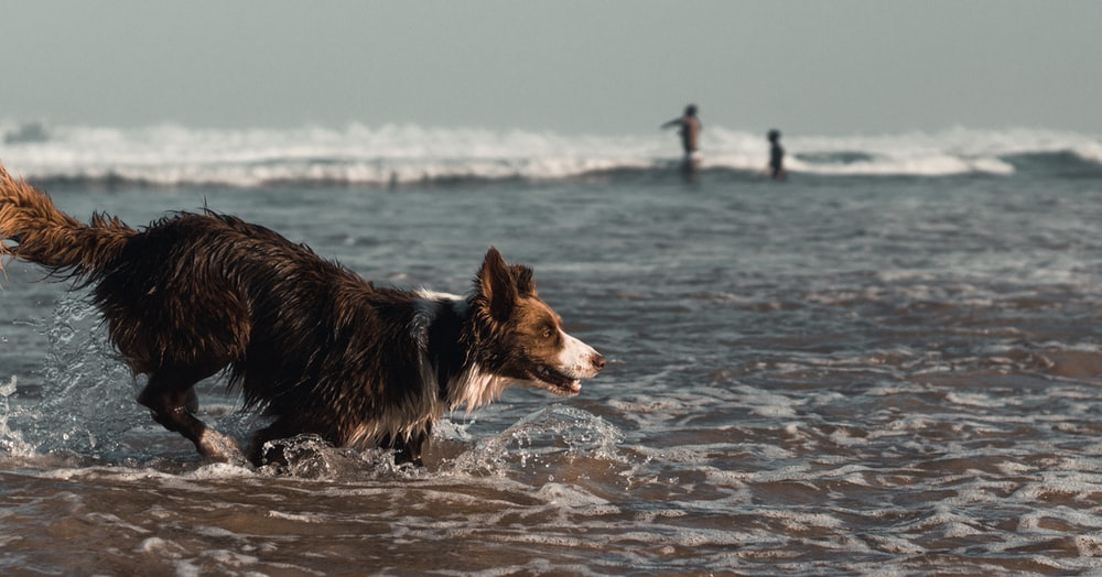 black and white border collie running on water during daytime
