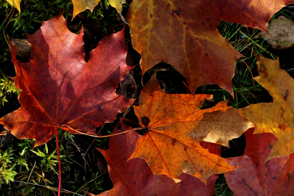 red and green maple leaves on ground