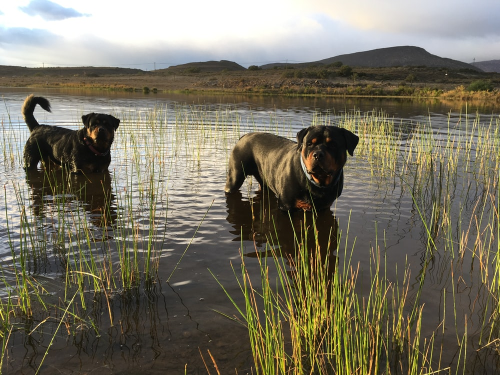 2 black and brown dogs on river during daytime