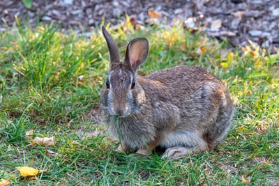 brown rabbit on green grass during daytime mammal zoom background