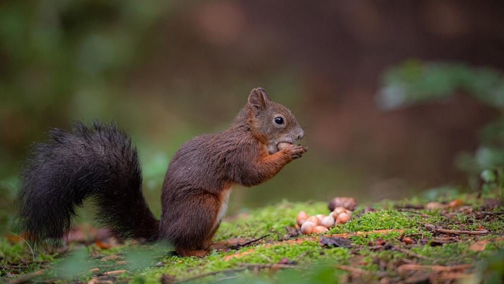 brown squirrel on green grass during daytime