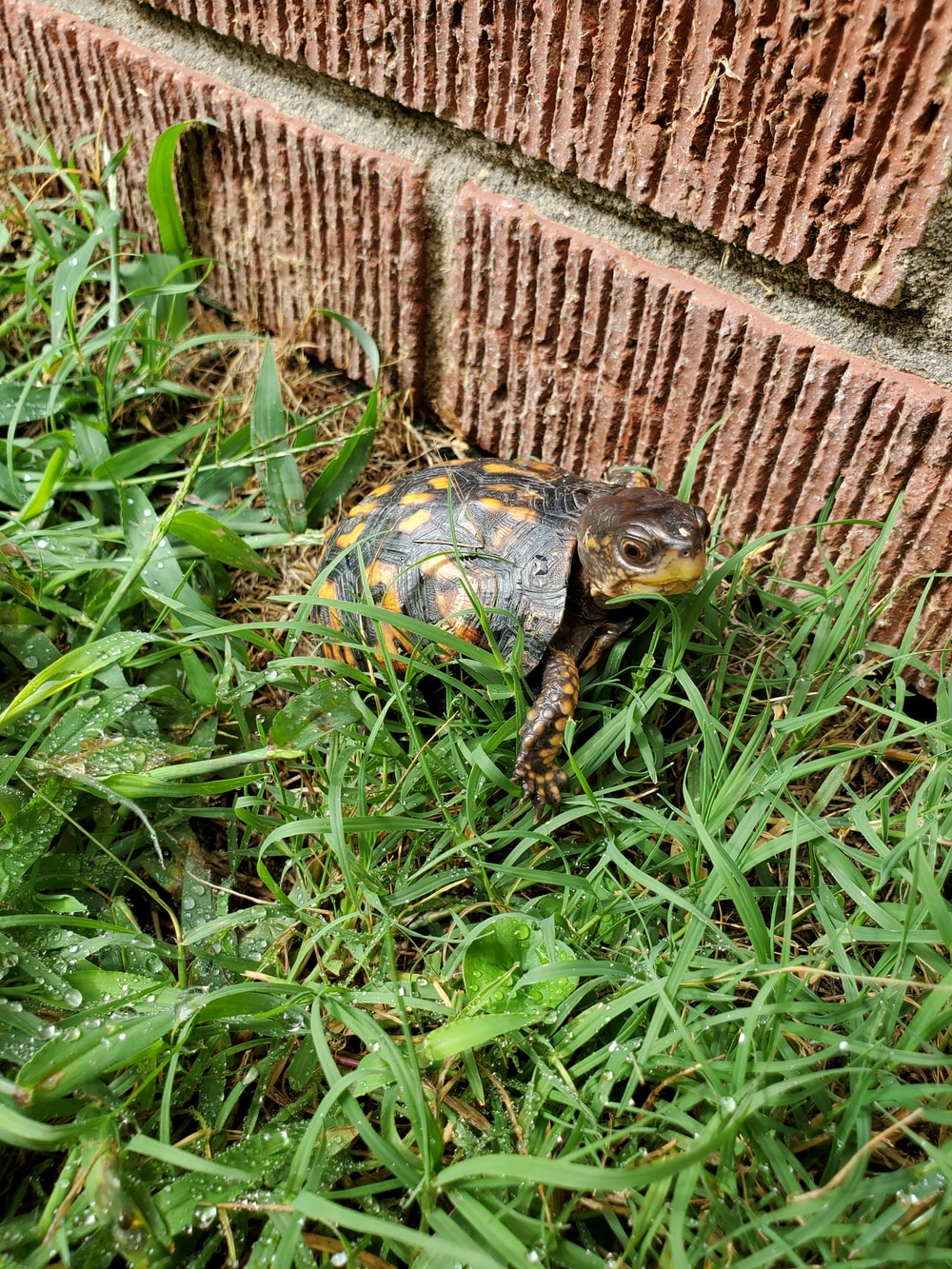 brown and black turtle on green grass
