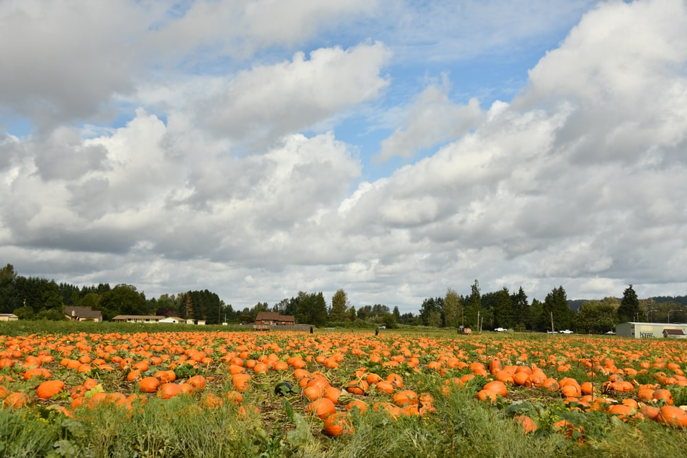 orange pumpkins on green grass field under white clouds and blue sky during daytime
