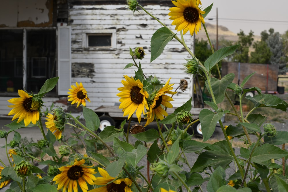 yellow sunflower in front of white wooden house