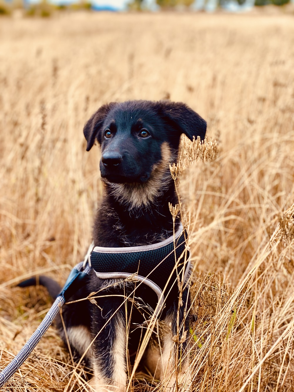 black and brown short coated dog sitting on brown grass field during daytime