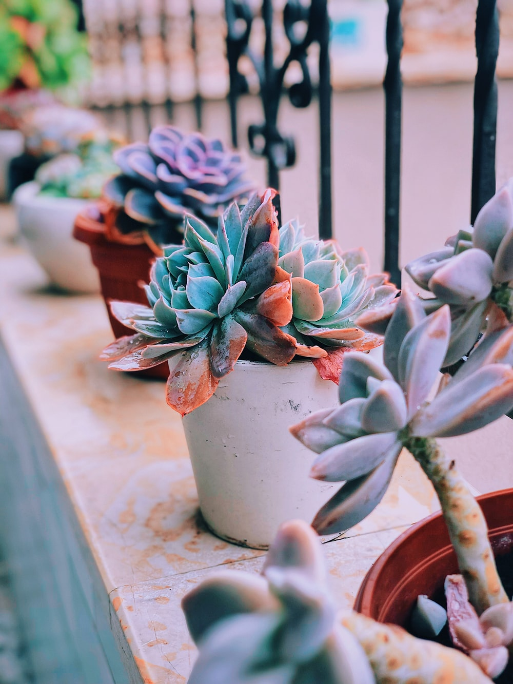 green and pink succulent plant