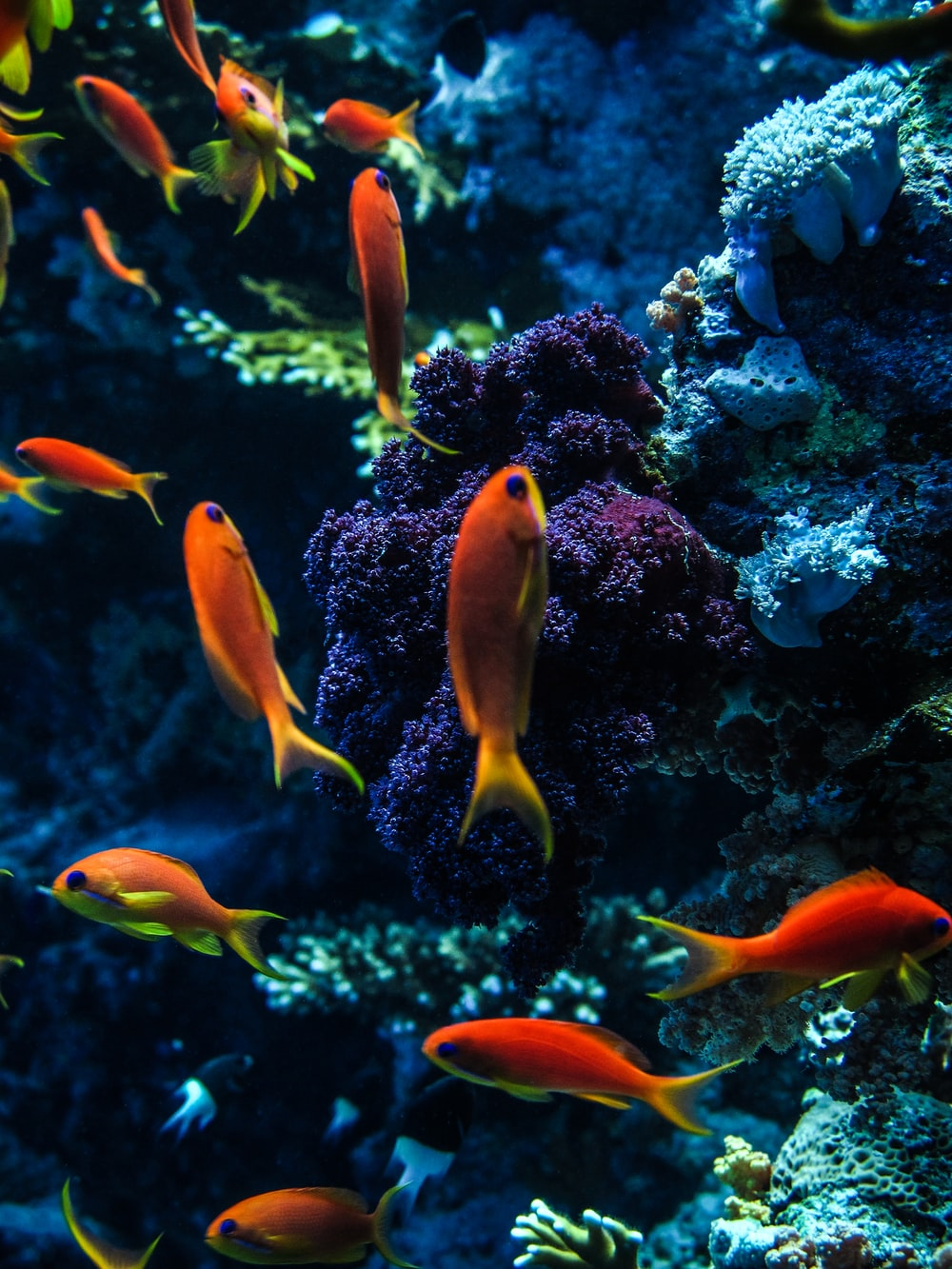orange and yellow fish in water