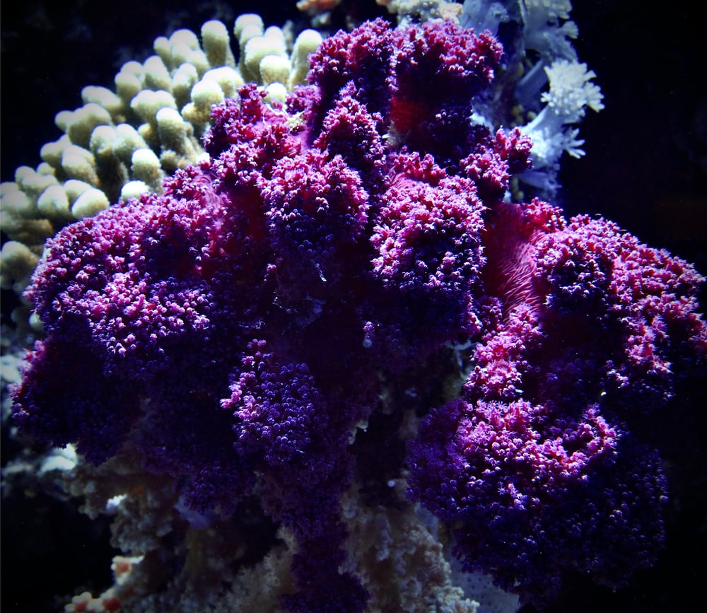 purple and white coral reef