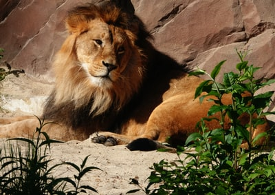 lion lying on brown sand during daytime fauna zoom background