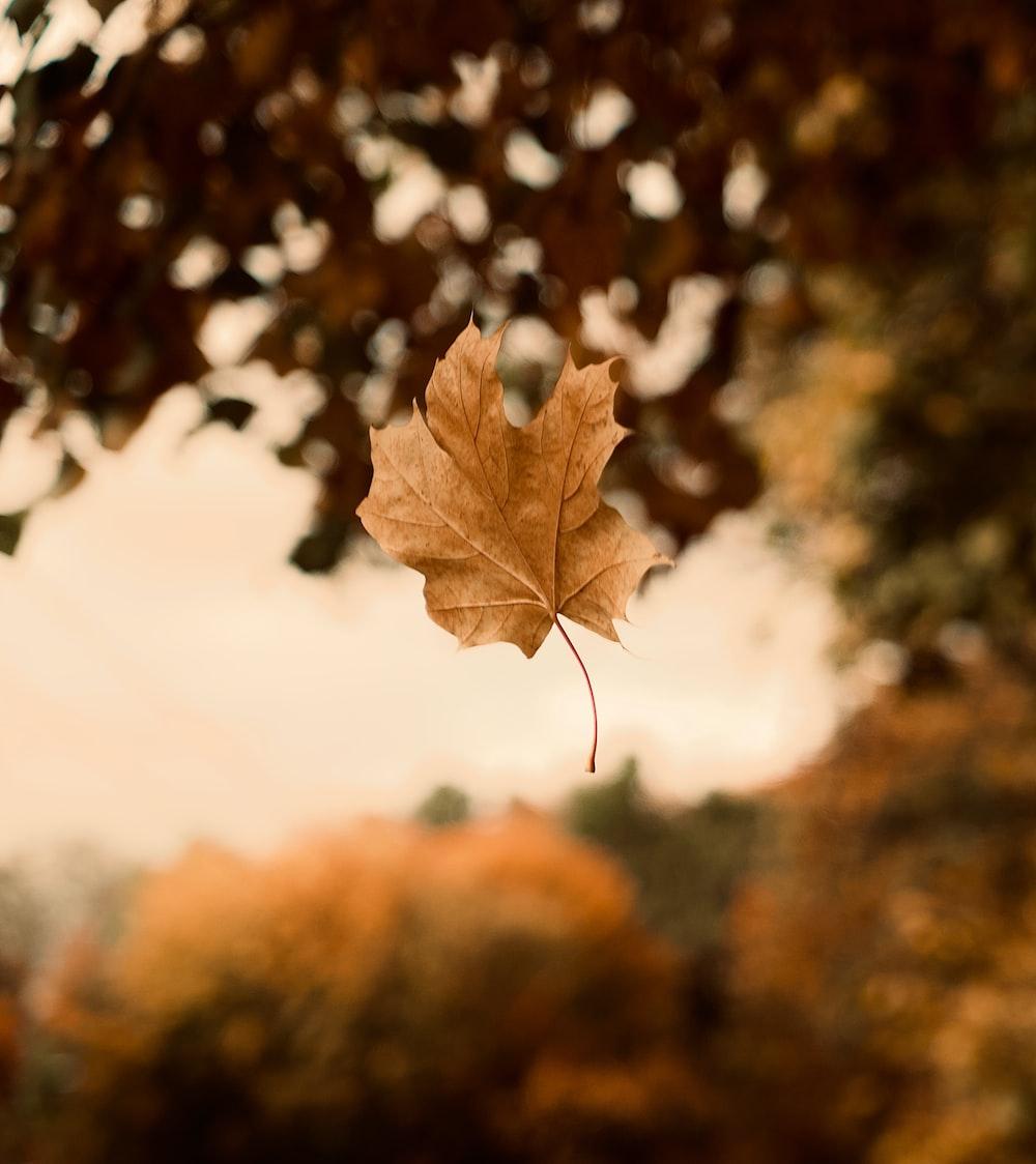 brown maple leaf in tilt shift lens