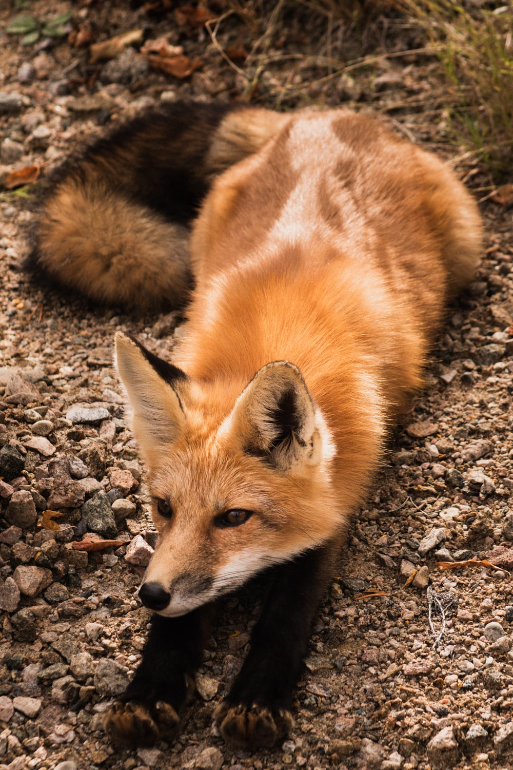 brown fox lying on ground during daytime