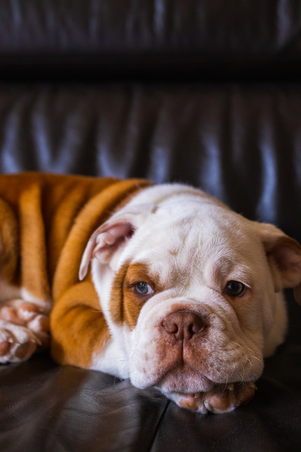 white and brown short coated dog on black leather couch