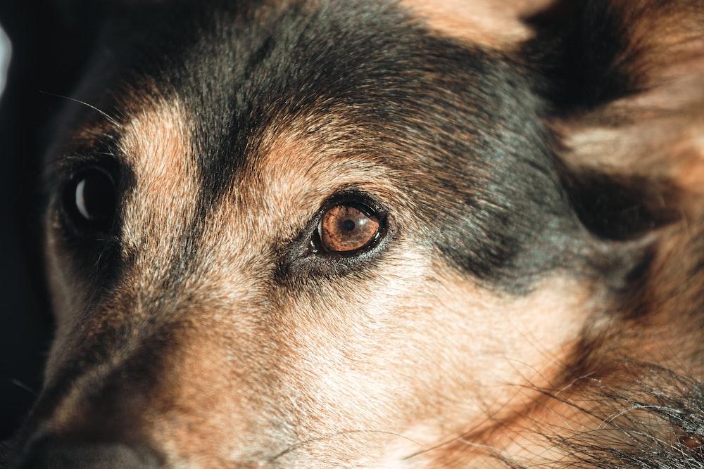 black and tan short coat dog
