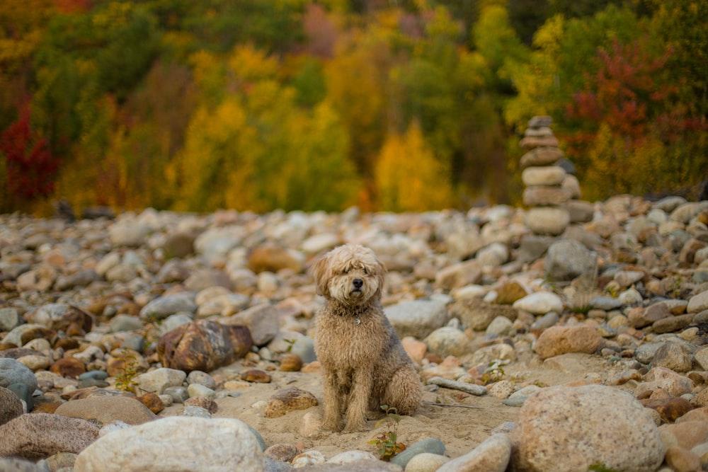 brown poodle on gray rocks during daytime