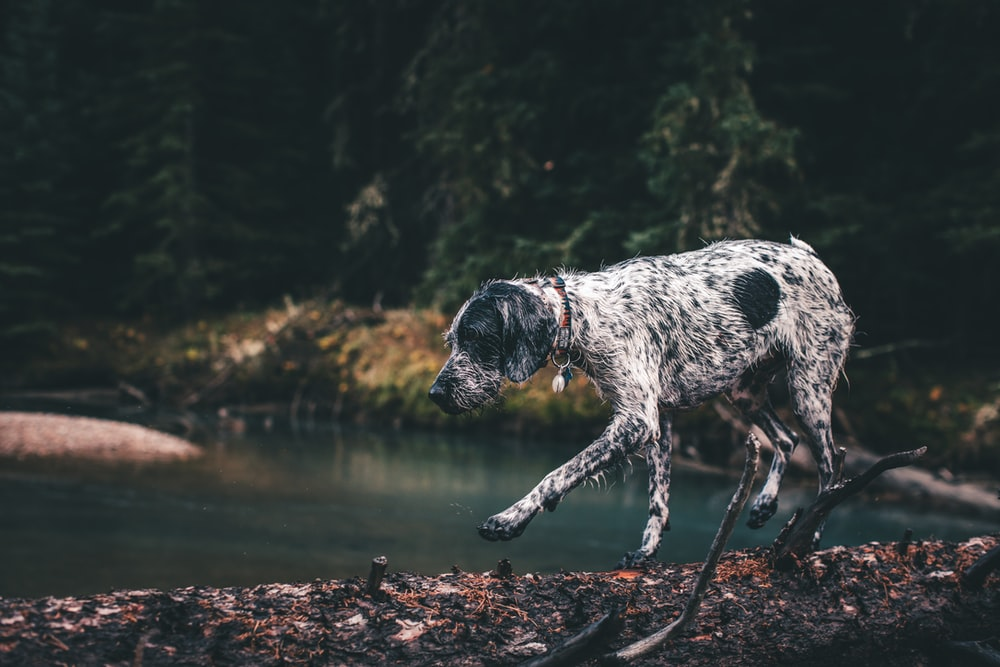 white and black short coated dog on water during daytime