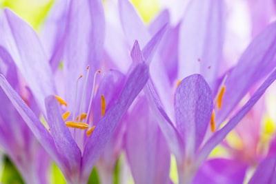 purple crocus flower in bloom during daytime
