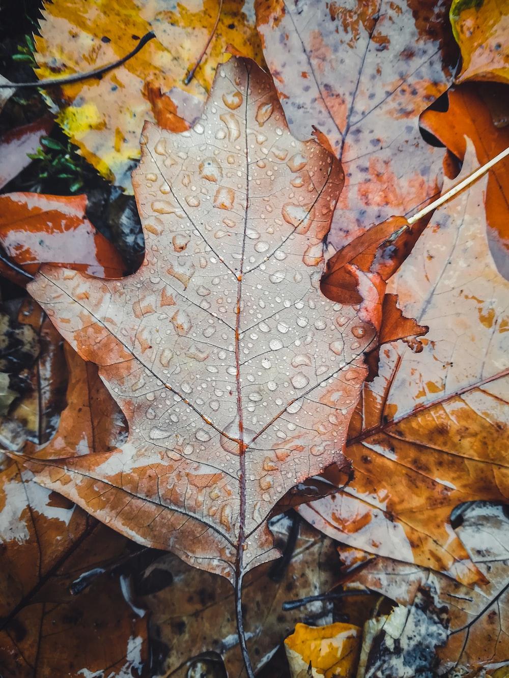 brown maple leaf on brown dried leaves