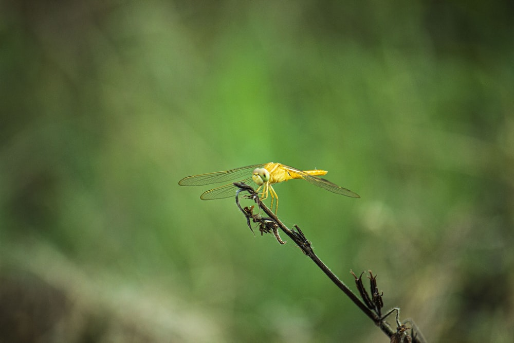 yellow and black dragonfly perched on brown stem in tilt shift lens