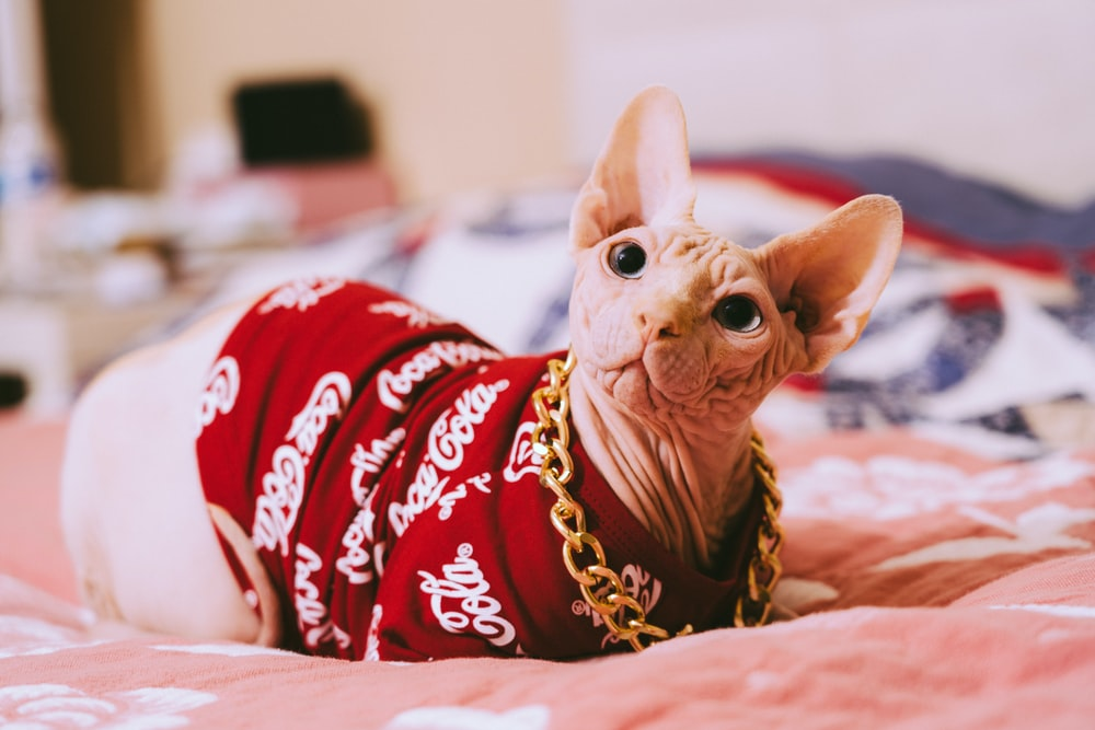 brown cat in red and white star print shirt lying on bed