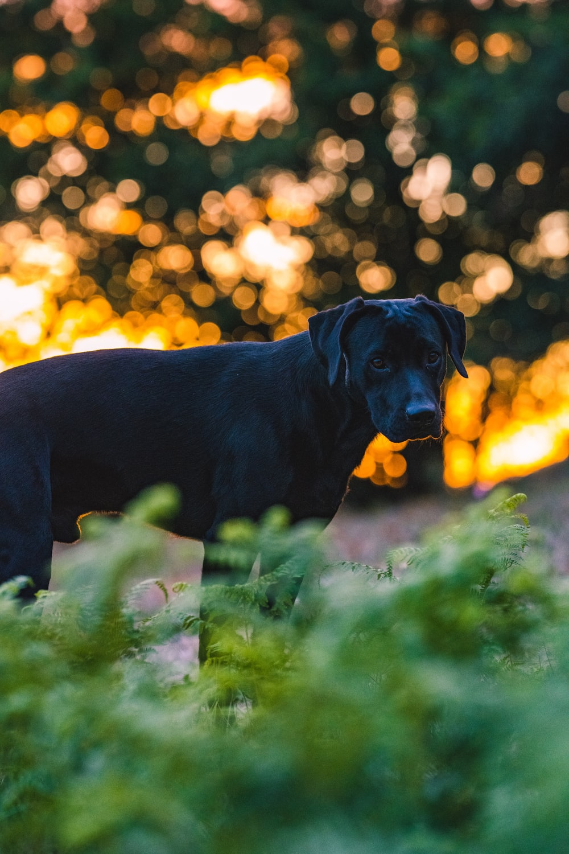 black labrador retriever on green grass field during daytime