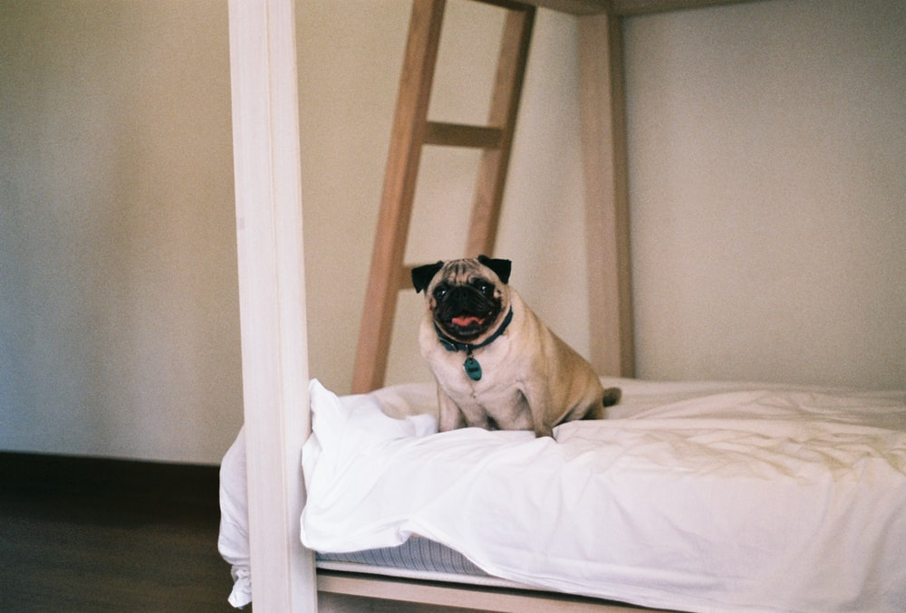 fawn pug on white bed