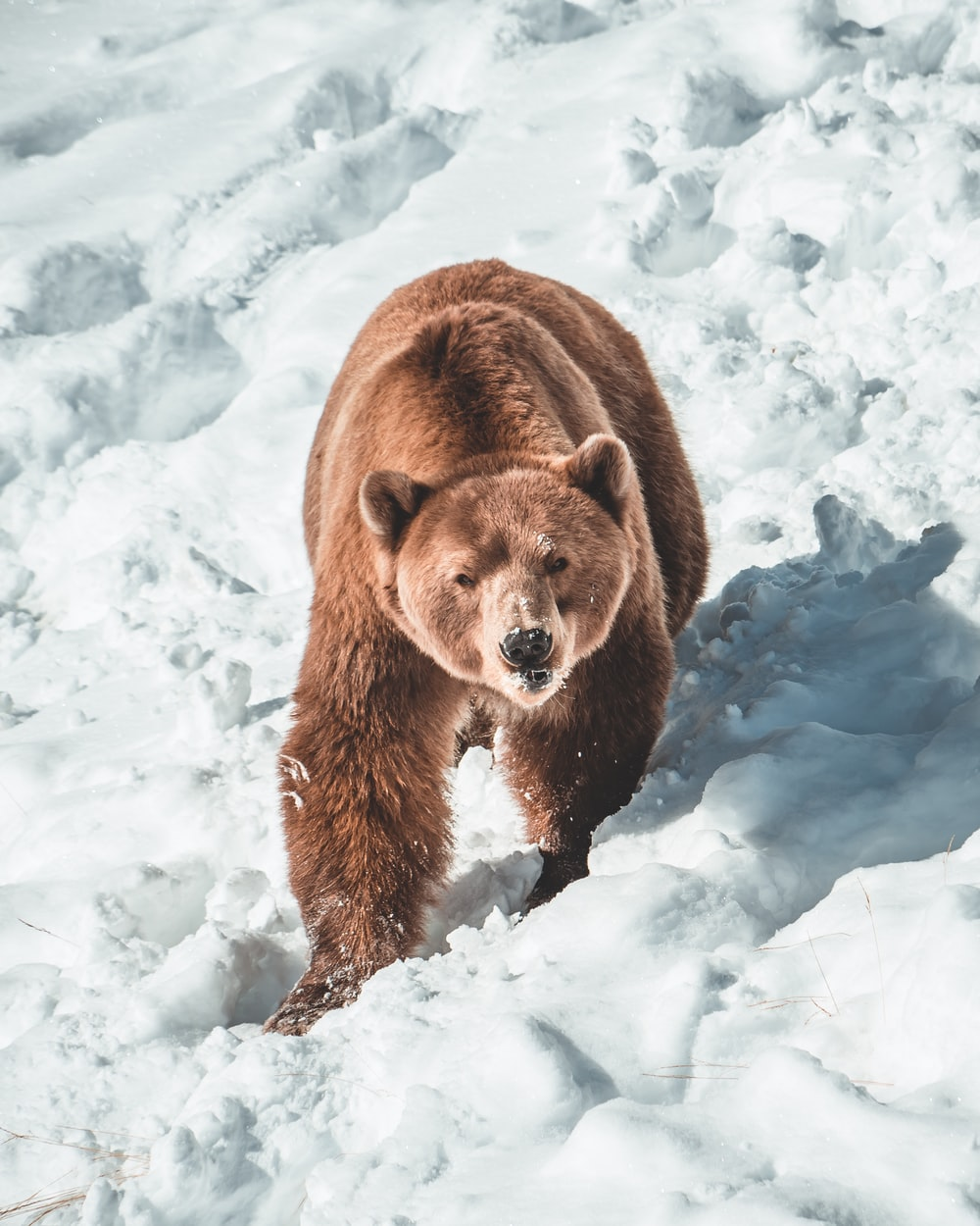 brown bear on snow covered ground during daytime