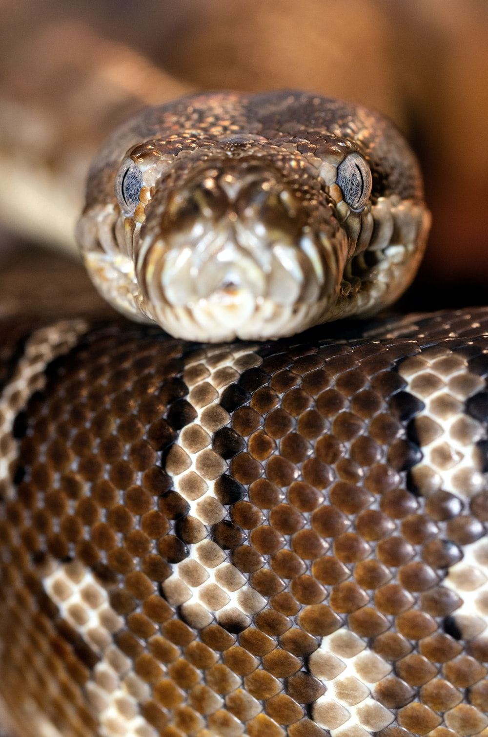 brown and white snake in close up photography