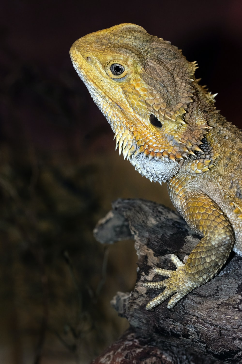 brown and white bearded dragon on brown tree branch