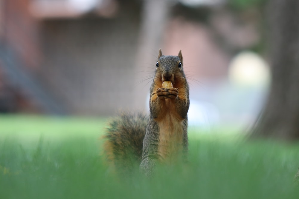 brown squirrel on green grass during daytime