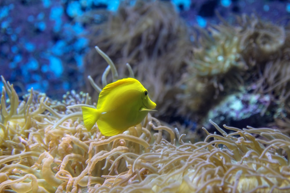 yellow fish on brown coral reef