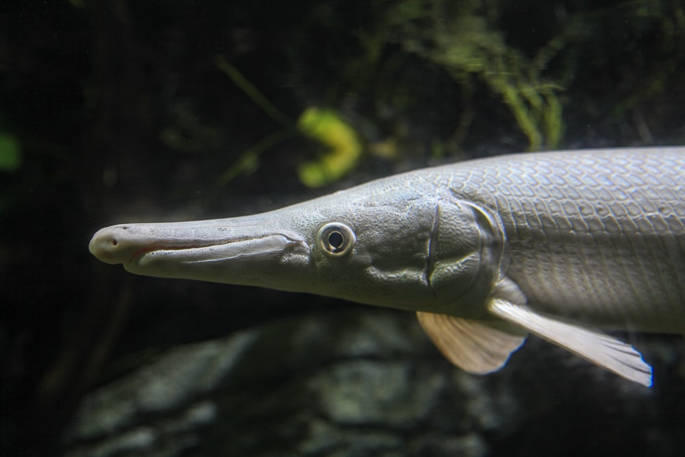 grey fish in close up photography