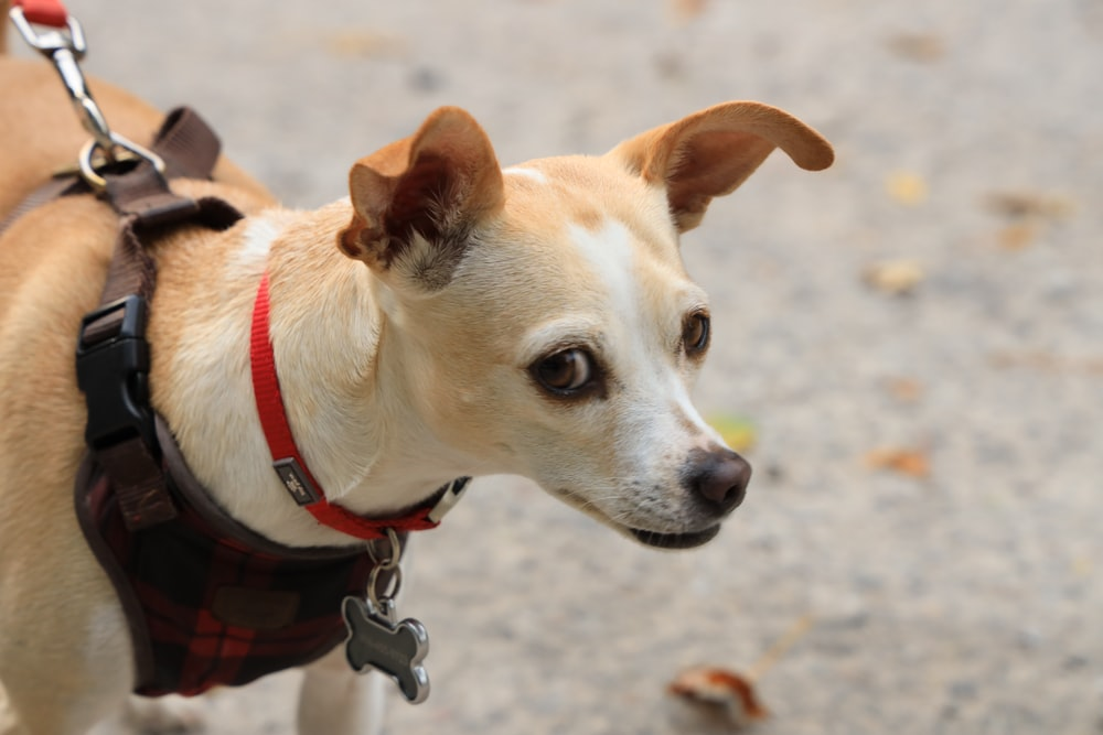 white and brown short coated dog with black and red collar
