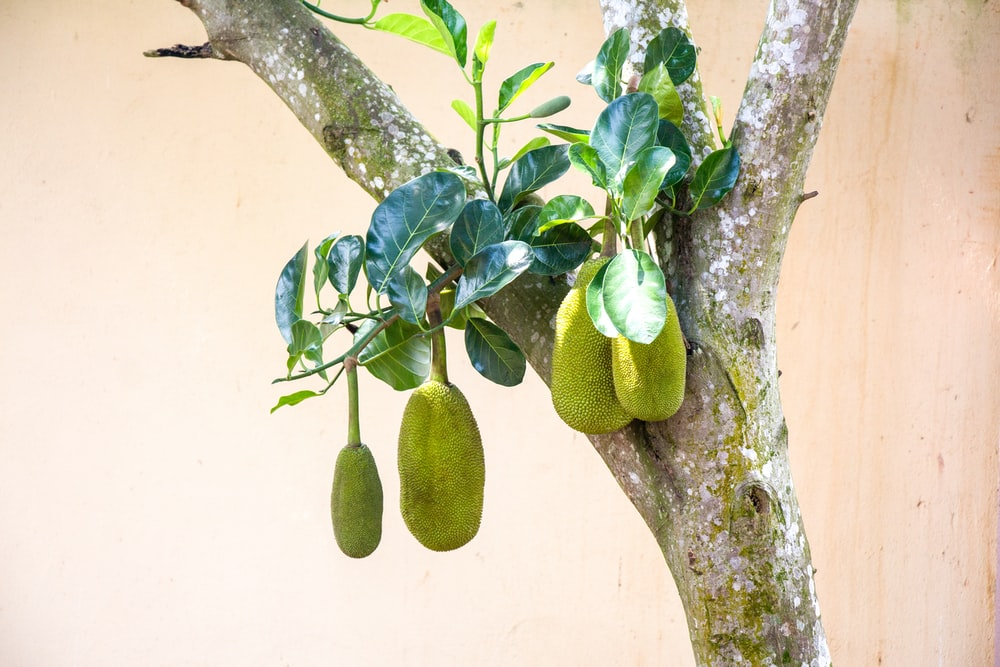 green fruit on tree branch