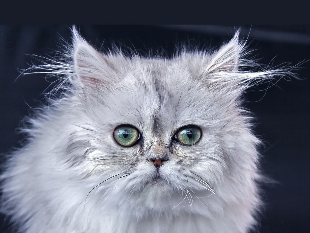 white and gray long fur cat