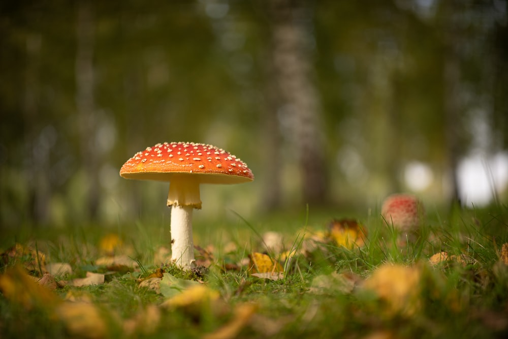 red and white mushroom in green grass field